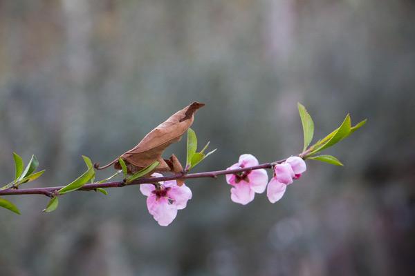 عکس شکوفه و برگ خشکیده - بهار